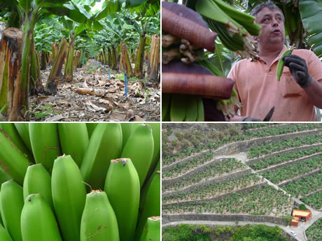 Which Canary Islands Does Bananas