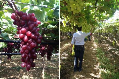 Vendite difficili per l 39 uva da tavola brasiliana ampia - Red globe uva da tavola ...