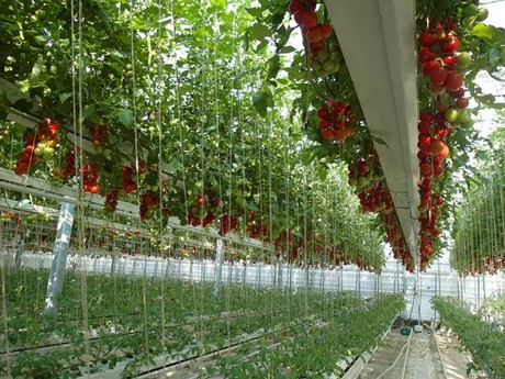 New Tomato Crop Planted For Futagrow