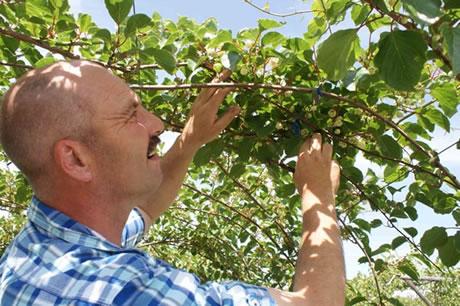 Paesi bassi la coltivazione dei baby kiwi e 39 un for Kiwi coltivazione