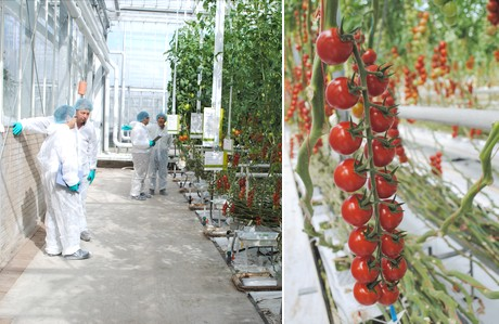 Highlights of the new Syngenta greenhouse tomato varieties