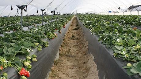 Spagna special fruit vuole distiguersi con la for Vendita piante di lamponi