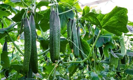 Frans gubbels beproeft nieuwe komkommerras dubai - De komkommers ...