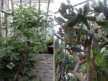 A portare la coltivazione delle banane in islanda e 39 stato for Albero di banane