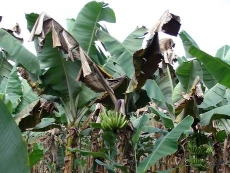 tomaten dna maakt bananenplanten mogelijk resistent tegen. Black Bedroom Furniture Sets. Home Design Ideas