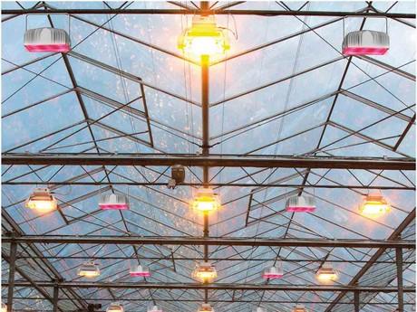 Tomatenkwekerij Gebr. Koot test Britse LED-lampen