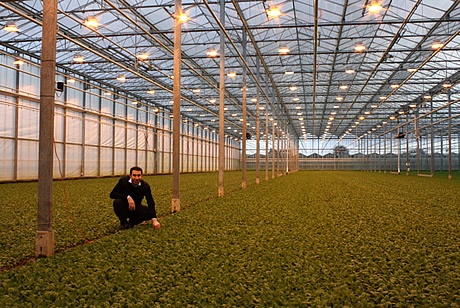 Qualita uniforme tutto l anno per i ravanelli olandesi coltivati