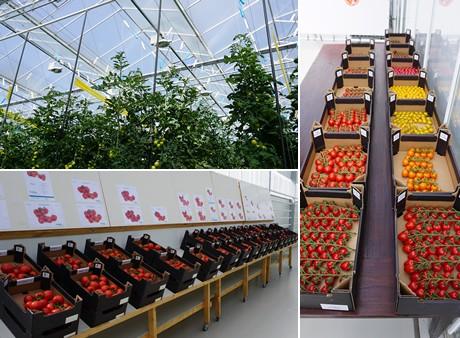 De snelle groei van axia vegetable seeds - Variedades de berenjenas ...