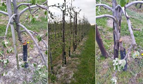 320 Kanzi-appelbomen omgezaagd in Boven-Leeuwen - AGF.nl