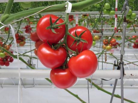 Hazera's tomato demohouse now open in Holland