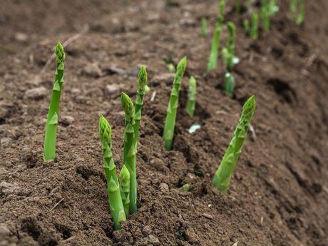 cultivar esparragos cultivo de