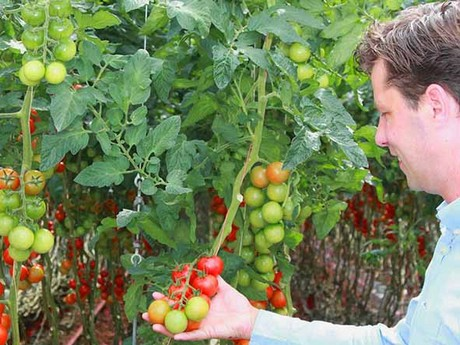 Dutch Grower Boosts Tomato Yield In Led Trial