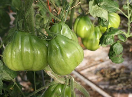 tomaat4.jpg