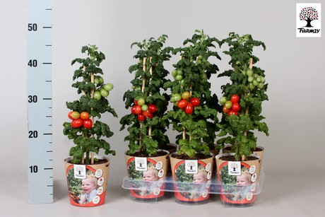 Dutch Grower Makes Tomato Plant For The Consumer