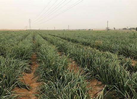 "Short Egyptian onion season expected"""